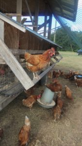 Chickens once ruled the roost at Rosebank Farms